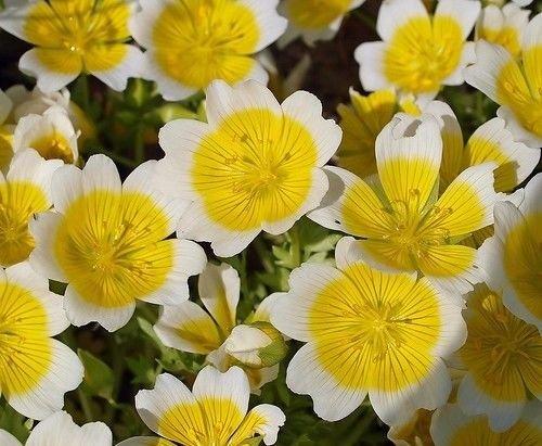 Spiegelei-Blume - Limnanthes douglasii - 10 Samen