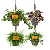 4er Set   Hängende Pflanzen Set   Zimmerpflanzen mit Übertopf   ELHO Ziertopf   Höhe 15-25 cm   Topf-Ø 12 cm