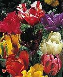 20 Gemischte Papageien Tulpen Blumenzwiebeln