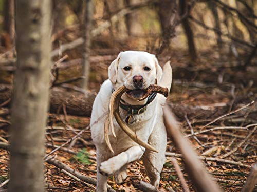 How To Train Your Dog To Shed Hunt