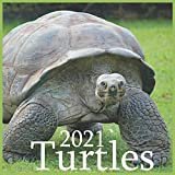 Turtles: Wall Calendar, 12 Month 8.5 x 8.5 Inch