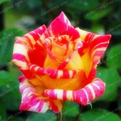 50 Pcs/Sac rares Graines Rose 24 couleurs au choix Belles graines de fleurs vivaces Balcon Jardin en pot Plante bricolage jardin 12