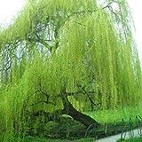 Lot de 5 graines de saule géant Vert vif