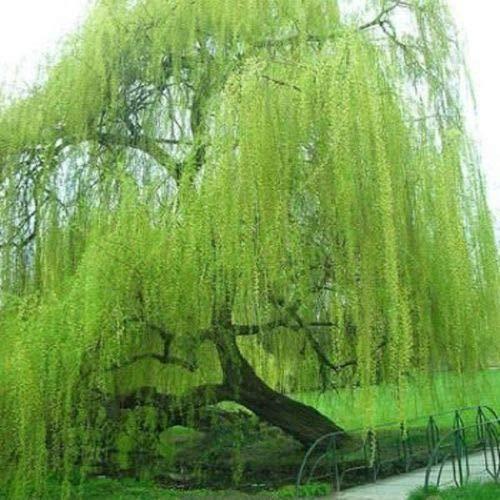 5 semi di salice verde brillante piangente di fiori giganti tutto paesaggio Garded Yard