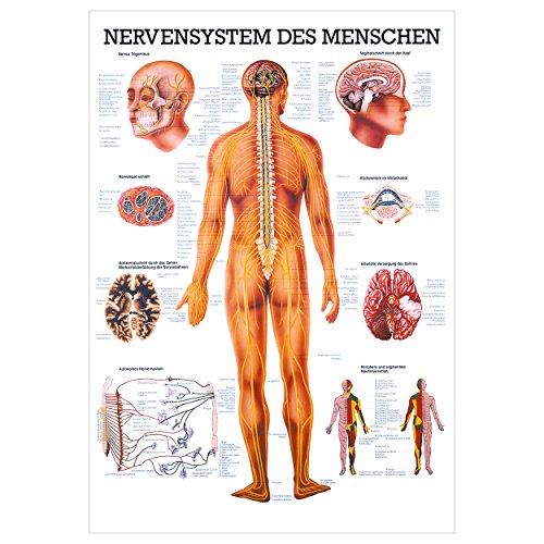 Das Nervensystem Lehrtafel Anatomie 100x70 cm medizinische Lehrmittel