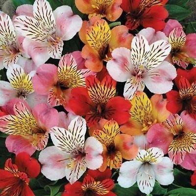 Les semences hybrides Mix fleur de lis du Pérou (Alstroemeria Hybrida Dr.Salters Mix) 15 + Graines