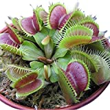 cfpacrobatics 50pz semi di dionaea muscipula venus flytrap carnivori bonsai crescere facilmente, piante da cortile per la casa, decorazione regali da giardino semi di dionaea muscipula