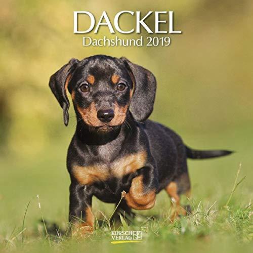 Dackel (BK) 226219 2019: Broschürenkalender mit Ferienterminen. Hunde-Kalender. 30 x 30 cm