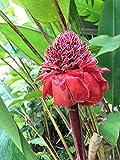 impianto di zenzero rosso torcia fresco e facile da coltivare