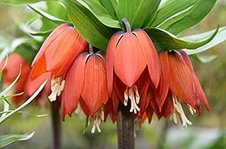 6 TALL FRITILLARIA BULBS - IMPERIALIS RUBRA - ORDER for FALL PLANTING