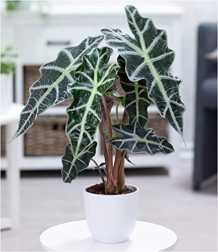 BALDUR Garten Alocasia Polly, 1 Pflanze Pfeilblatt Zimmerpflanze Zimmerpflanze