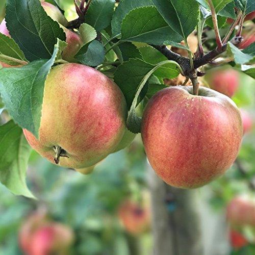 Apfelbaum Rajka (S) süßer Herbstapfel Terrassenobst schwachwachsend Buschbaum 120-150 cm 7,5 L Topf M9