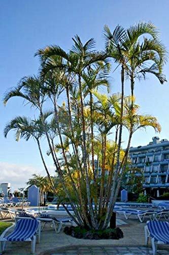 Areca Palm Dypsis Lutescens, Golden Cane Palms Ornamental Fence rs2a1c (30 ct)