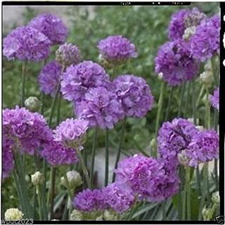 armeria ballerina lilac