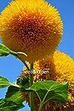 PlenTree Heißer Teddybren s Flores Balkon Topf s Garden Bonsai wie Easy 10Pcs / Bag, # JT3KDG -