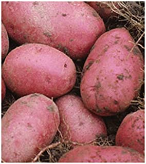 seed potatoes red