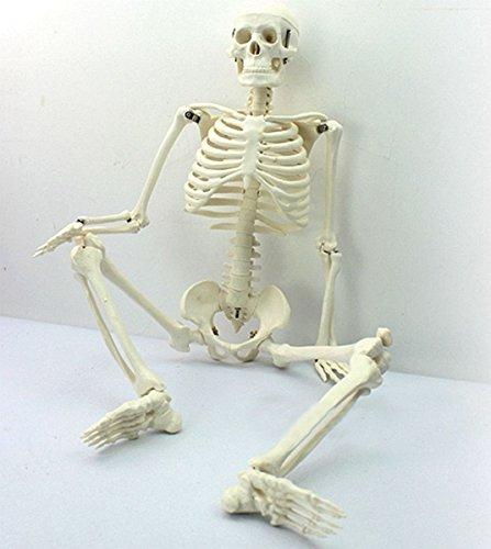 Tiptiper 45CM menschliches anatomisches Anatomie-Skelett für medizinisches unterrichtendes Modell Collectibles
