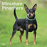 Miniature Pinschers - Zwergpinscher 2020 - 16-Monatskalender mit freier DogDays-App: Original BrownTrout-Kalender [Mehrsprachig] [Kalender] (Wall-Kalender)
