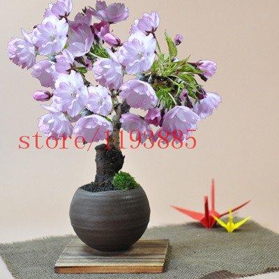 6 couleurs graines de sakura japonais 2015 nouvelles graines de fleurs de cerisier Graines de cerisier japonais Cerasus yedoensis Biji, Bonsai Graines de fleurs 1