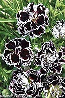 Black and White minstrels Dianthus Seeds chinensis First-Year Blooming! 40 Seeds
