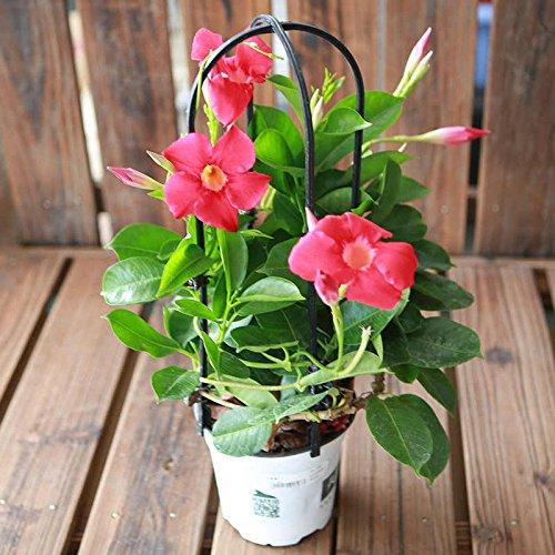 100pcs/sac Mandevilla Dipladenia Bonsai Graines plantes d'intérieur plantes ornementales pour la cour de jardin à domicile Livraison gratuite 1