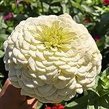 Fnho Raras Semillas de Hierba,Planta Maceta Semillas,Flor de Hierba de Baian, siembra, Flores fáciles de Vivir-White_1000Grain + Fertilizer