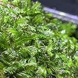 Fissidens Nobilis 3'x3' MAT - Live Foreground Plant Rare Moss