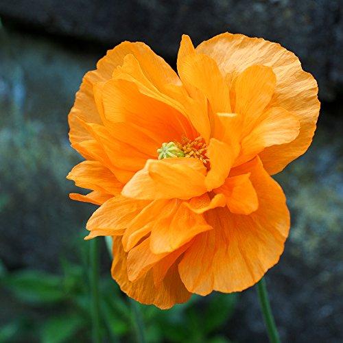 Scheinmohn 40 Samen, Mohn - (Meconopsis Cambrica fl.pl.Aurantiaca) - Orange pom pom Blumen (Poppy Welsh Orange)