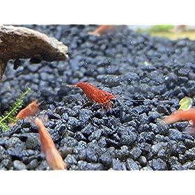Bachflohkrebse Garnelen - Red Fire Sakura 10 Stück