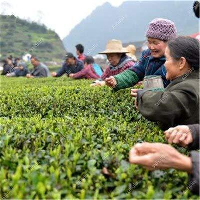 SANHOC 10 Stück chinesischer grüner Tee-Baum Bonsai im Freien Pflanze Baum Topf Blume für Hausgarten-Wald Grove immergrüne Bäume Hohe Keimung: b