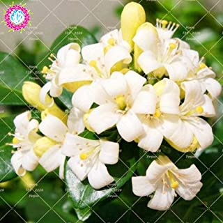 Garden Perennial Flowers Plants Climbing 20PCS Murraya Paniculata Plant True Orange Jasmine Shrub with Fragrant White Flower Plant Perennial Garden Climbing Plant