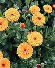 Calendula Prince Series Indian Annual Seeds