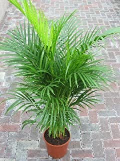 EaglesFord Areca Palm Live Indoor Air Purify House Plant with Pot (Size: 2 to 3 feet)