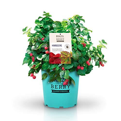 BrazelBerry 'Raspberry Shortcake' Himbeere , die kompakte dornenfreie Himbeere , winterhart , mehrjährig , Obst für Garten, Terrasse, Balkon oder Kübel