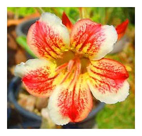 Adenium obesum Pawpun - Rose du désert - Faux baobab - 3 graines