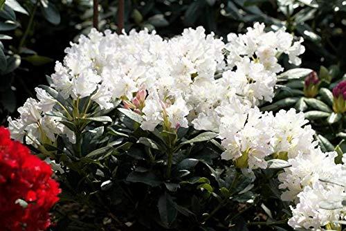 Rhododendron Cunninghams White Alpenrose weiß 30-40cm im Topf gewachsen