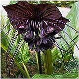 PLAT FIRM GERMINATIONSAMEN: Bat Blume Verwurzelt Pflanze 10 Samen Schwarze Fledermaus Blume Bat Pflanze Fledermausblume