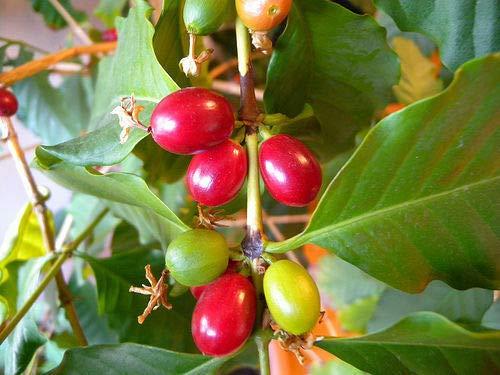 Kaffee Coffea arabica Pflanze 15-20cm echter Kaffeestrauch Arabica Kaffeebaum