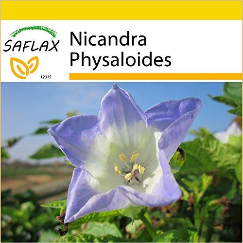 SAFLAX - Kit de culture - Pomme du Pérou - 100 graines - Nicandra Physaloides