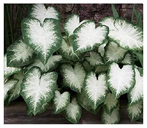 Fancy Leaf Caladium - Aaron - Large Root - Zone 9-11