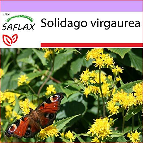 SAFLAX - Heilpflanzen - Echte Goldrute - 100 Samen - Solidago virgaurea