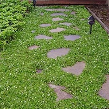 FERRY Germinazione dei Semi: Semi di Veronica Ground Cover (Veronica) 200Seeds