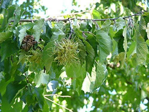 Baum-Hasel Corylus colurna Pflanze 35-40cm Türkische Hasel Haselnuss Baumhasel