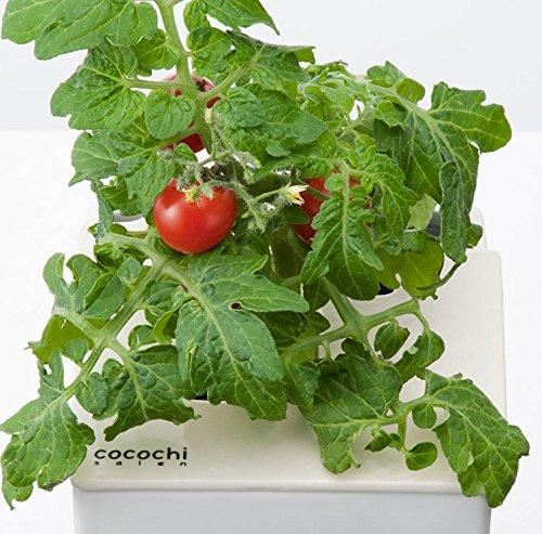 協和 心知菜園 スノーホワイト ミニトマト CCC14WHITE 水耕栽培キット