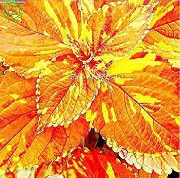 Bonsai Coleus seeds foliage plants perfect color Arc-Dragon Seeds beautiful flower plant garden Semente 30 seeds k42 5