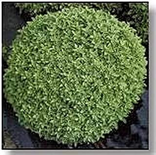 Herb Seeds - Basil Seed Dwarf Fine Bush Minette Seeds