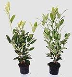 10 Stück Prunus laurocerasus 'Caucasica' (Höhe: 50-60 cm / Topfvolumen: 1,3 Liter), Hecke, immergrün