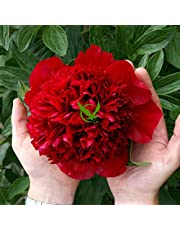 FERNSFLY IMP. Peonies / Peony Excellent Quality Flower Bulbs for Attractive Aromatic Flowers Home Gardening Perennial Plants All Season Flower Bulbs pack of