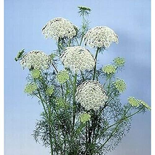 Ammi Visnaga Green Mist 1,000 Seeds JHZ01