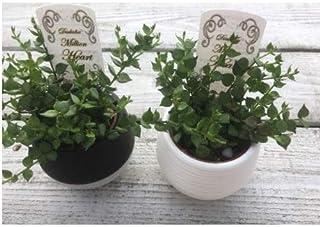 プランツネット 観葉植物 ディスキディア ルスキフォリア 3.5号 K0116140 15個入